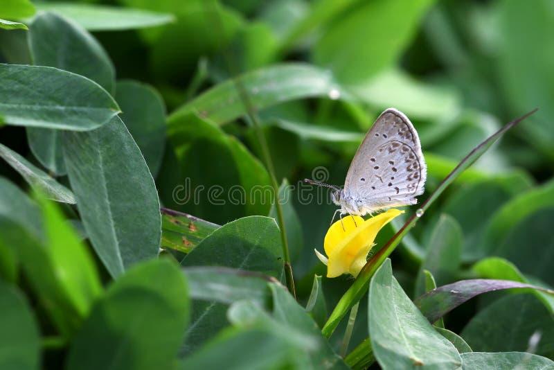 Schmetterling Zizina-Otis Indica Lesser Grass Blue sitzt auf dem gelben Blume Erdnuss pintoi stockbild