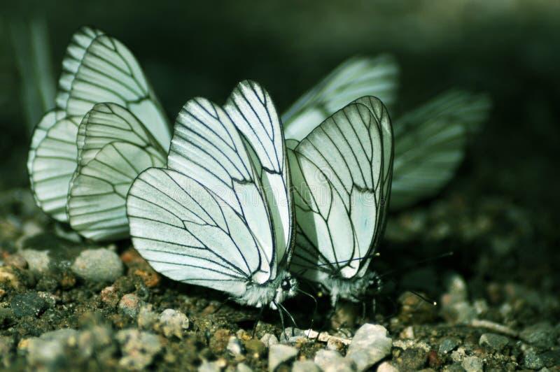 Schmetterlinge stockbild