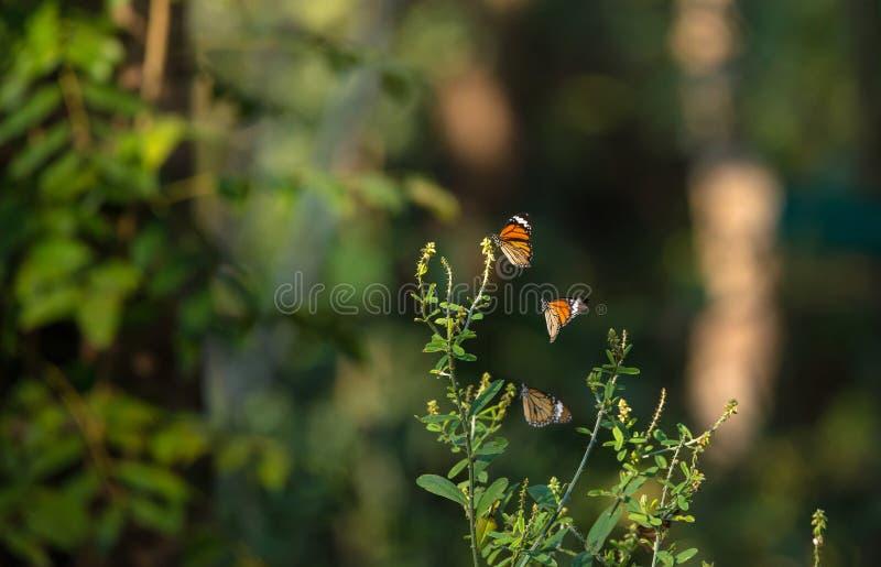 Schmetterlinge in der Aktion stockbild