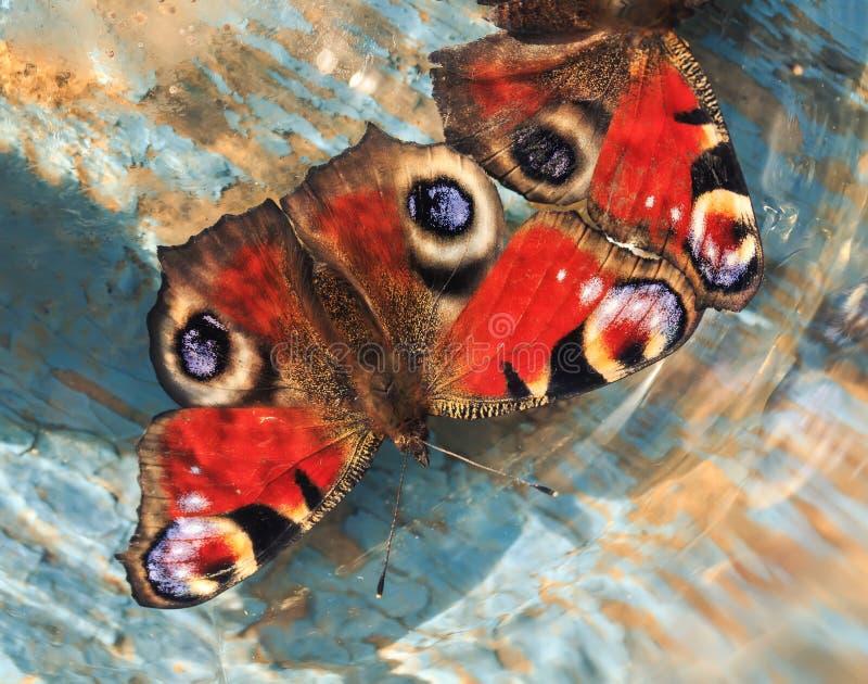Schmetterlinge des Pfaus mustern das Sitzen auf einer hölzernes Blau gemalten Brandung lizenzfreies stockfoto