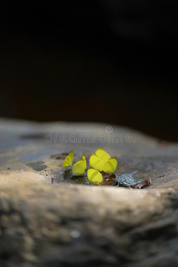 Schmetterlinge, die auf Stein in Nationalpark Pang Sidas, Sakaeo, Thailand stehen stockbilder
