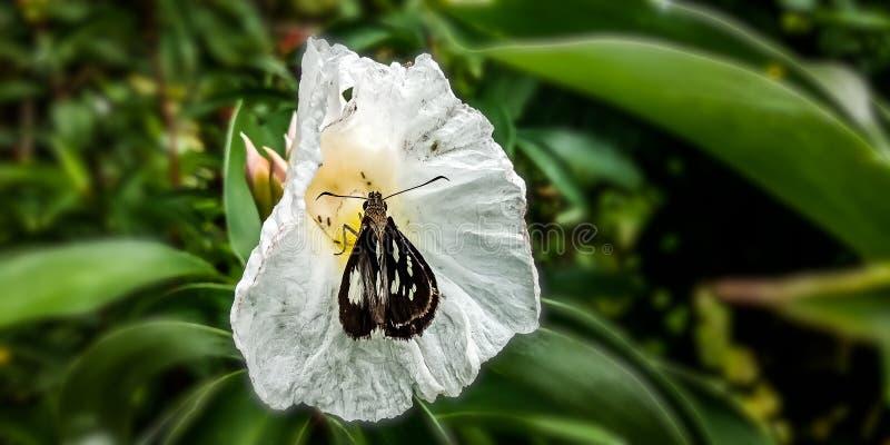 Schmetterlinge, die Nashornkohlblumen saugen lizenzfreies stockbild