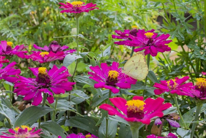 Schmetterlinge in einem schönen Blumengarten stockfotos