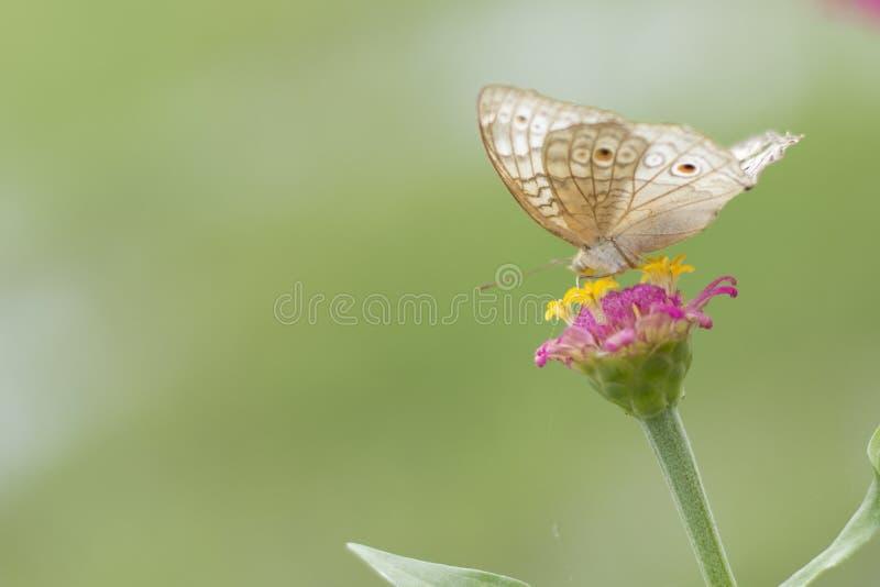 Schmetterlinge im Blumengarten stockfotos