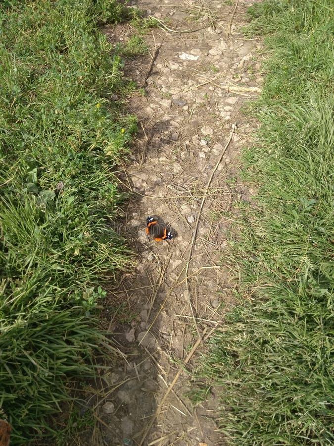 Schmetterlings-Admiral auf dem Weg lizenzfreie stockbilder