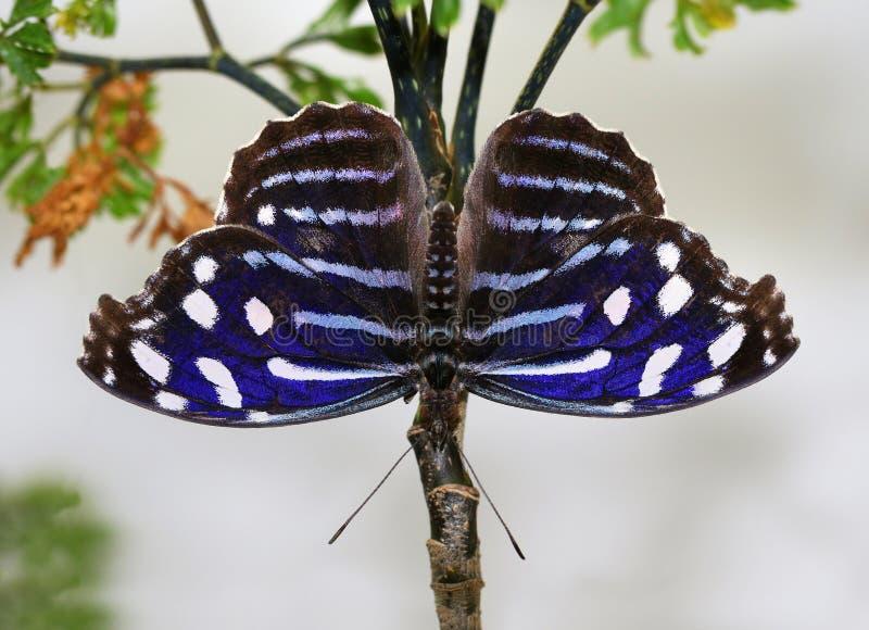 Schmetterlings-blaues Wing Myscelia-ethusa tropische Schmetterlinge stockbild
