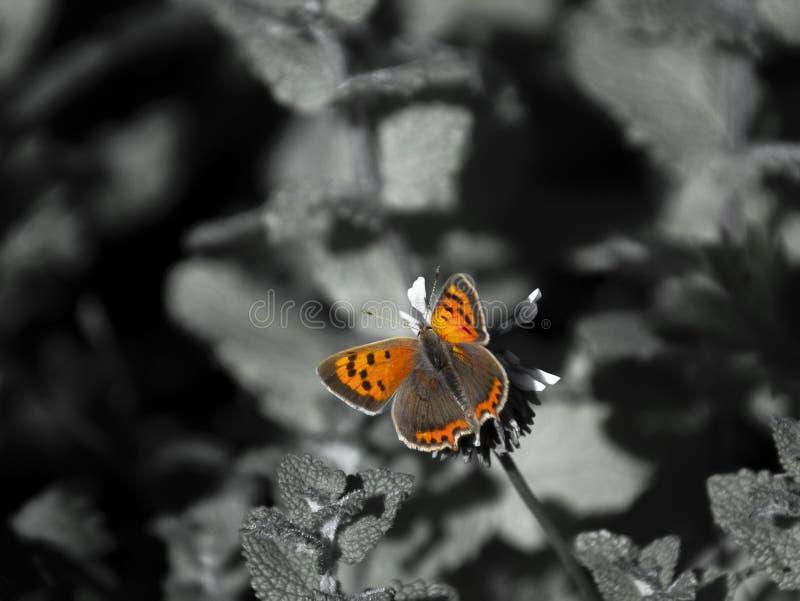 Schmetterlings-Farben gegen Schwarzweiss lizenzfreie stockfotos