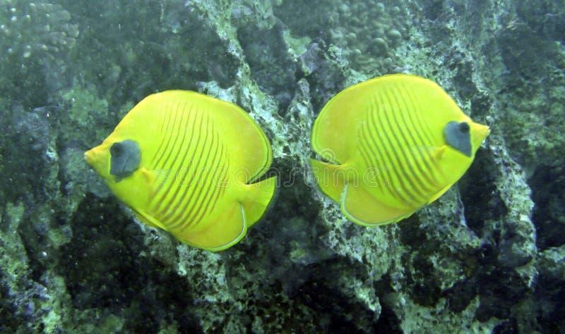 Schmetterlings-Fische (Chaetodon-semilarvatus) lizenzfreie stockbilder