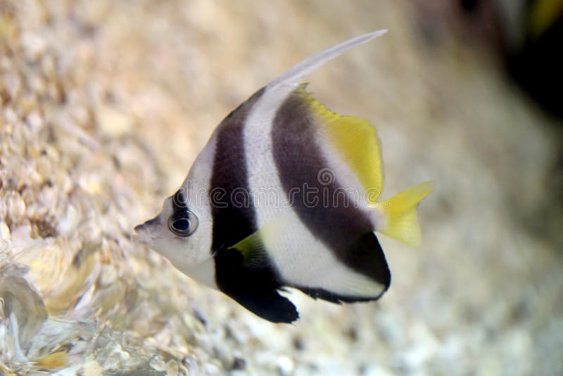 Schmetterlings-Fische im Seekorallenriffbereich stockfotografie