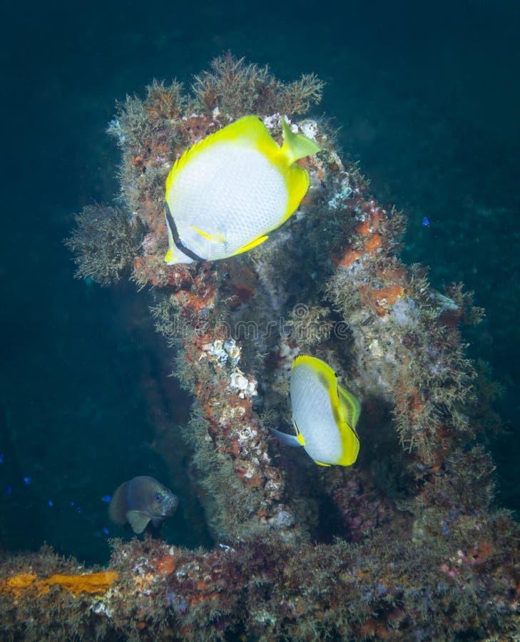 Schmetterlings-Fische - Liberty Ship Artificial Reef lizenzfreie stockfotografie