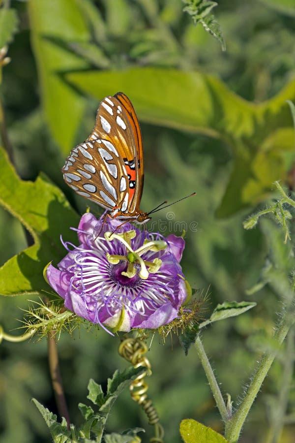 Schmetterlings-Leidenschaft lizenzfreie stockbilder