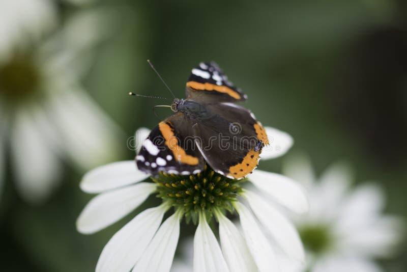 Schmetterlings-Makro stockfotografie
