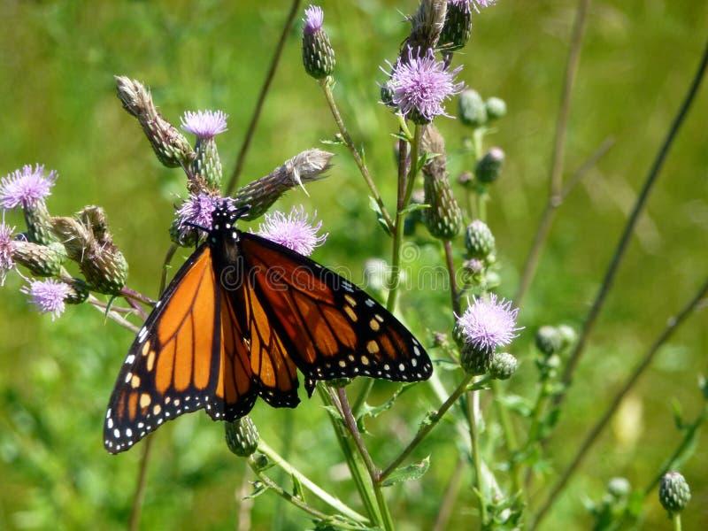 Schmetterlings-Monarch lizenzfreie stockbilder