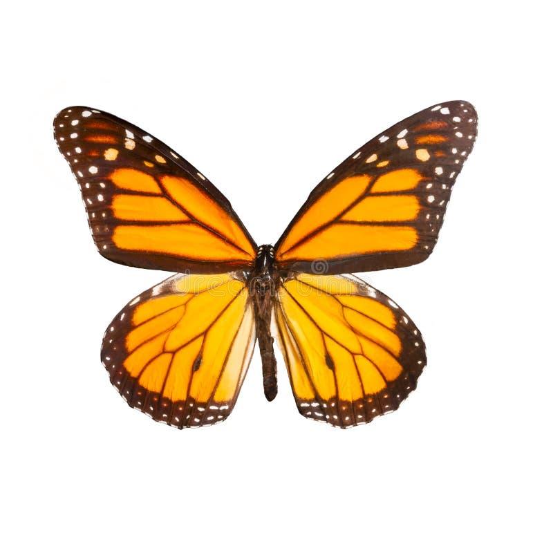 Schmetterlings-Monarch auf dem weißen Hintergrund stockbilder