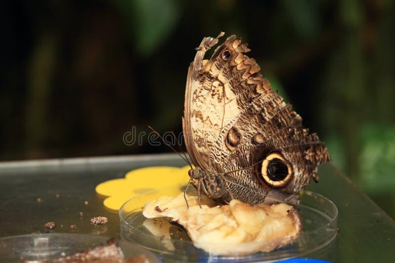 Schmetterlings-Riese-Eule stockbild