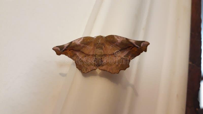 Schmetterlingsaussehung wie trockenes Blatt stockfotos