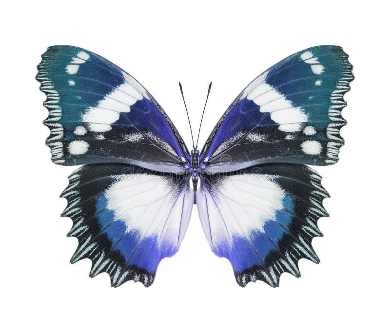 Schmetterlingsblau stockbild