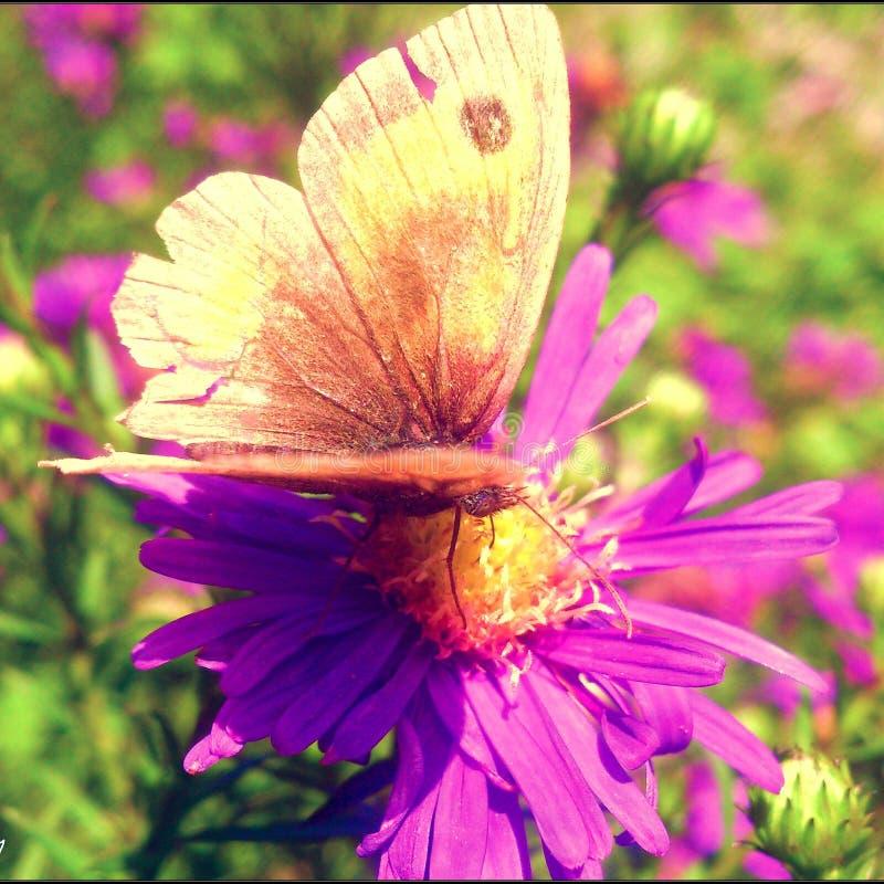 Schmetterlingsblume stockfotos