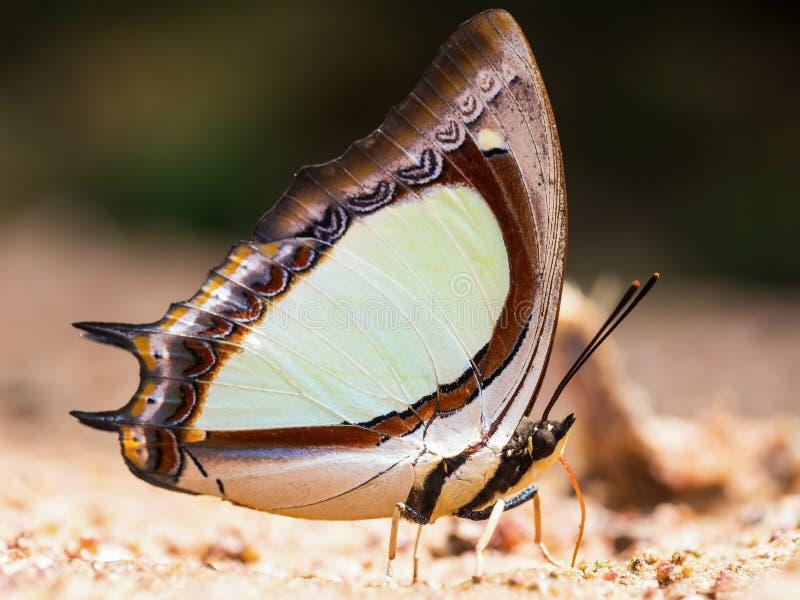 Schmetterlingsessen salzig auf Sand (indisches gelbes Nawab) lizenzfreie stockbilder