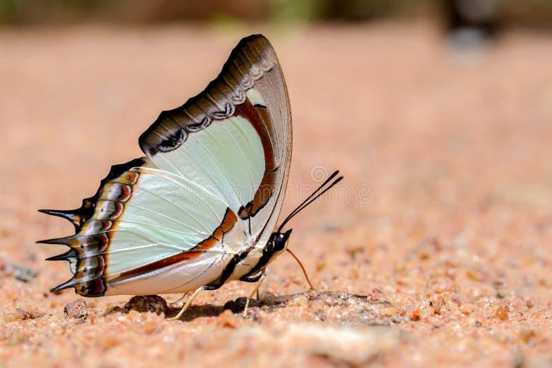 Schmetterlingsessen salzig im Sand lizenzfreie stockfotos