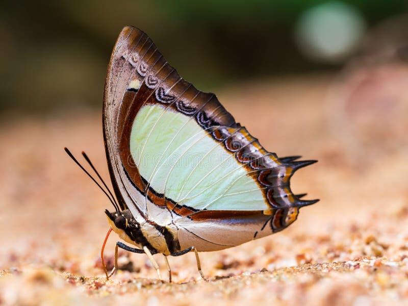 Schmetterlingsessen salzig im Sand (indisches gelbes Nawab) stockbild