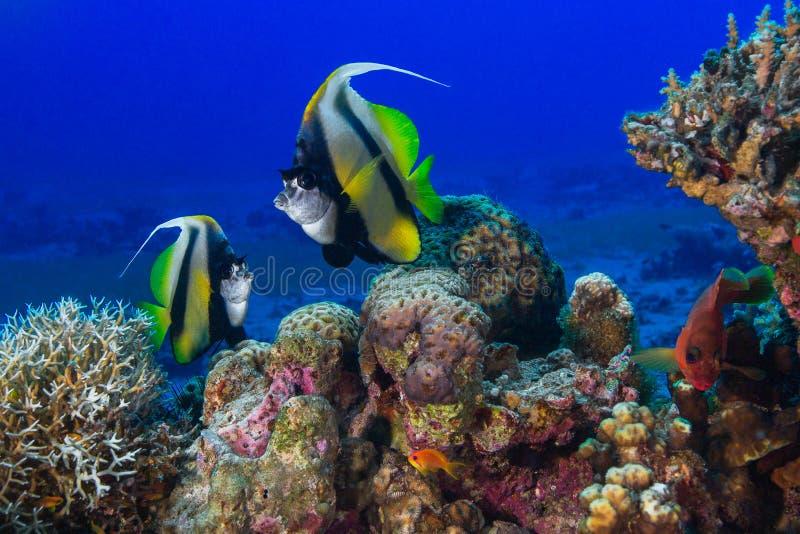 Schmetterlingsfischschwimmen unter den Korallen Rotes Meer, Fisch, Zebrafische, Pterois volitans lizenzfreies stockfoto
