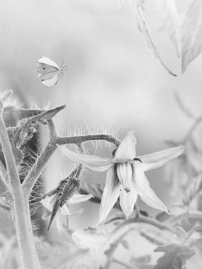 Schmetterlingsfliegen und -tomaten blühen stockbilder