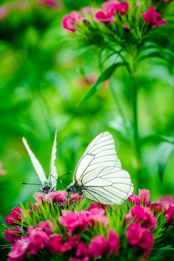 Schmetterlingsgartennelkenmakro lizenzfreies stockbild