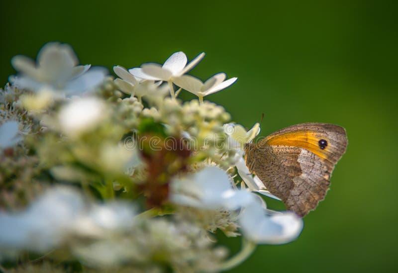 Schmetterlingsinsektenamaryllis allein warf auf einer weißen Hortensieblume im Sommer in einem Garten auf stockfotografie