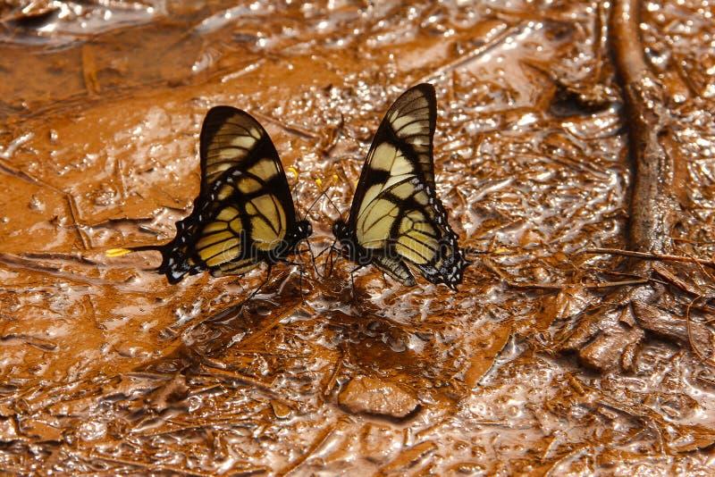 Schmetterlingskuß stockfoto