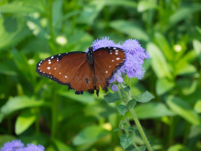 Schmetterlingsländer auf purpurroten Blumen lizenzfreie stockfotos