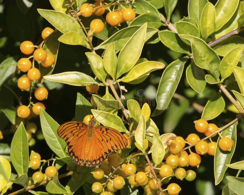 Schmetterlingsliguster stockbilder