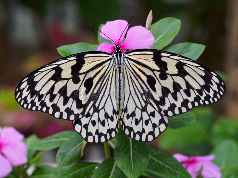 Schmetterlingsmakroschuß lizenzfreie stockfotografie