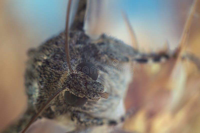 Schmetterlingsmottennahaufnahme auf einem farbigen gelben blauen unscharfen Kopienraumhintergrund Makrofoto Catocala-sponsa stockfotografie