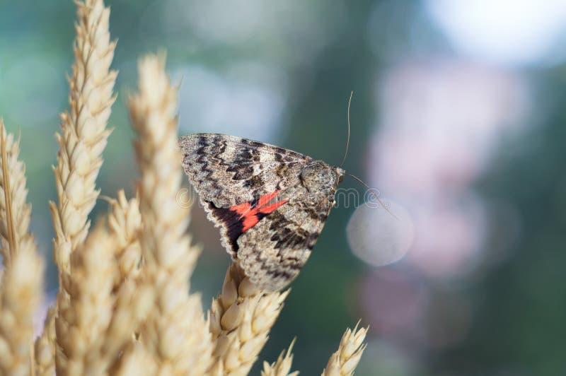 Schmetterlingsmottennahaufnahme auf einem farbigen grün-blauen unscharfen Hintergrund der Natur Makrofoto Catocala-sponsa lizenzfreie stockfotos