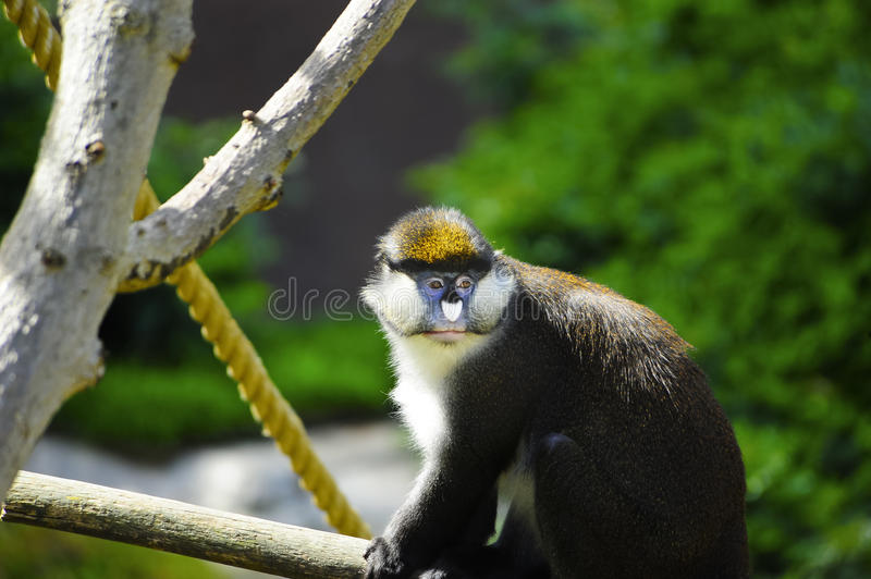 Download Schmidt's Spot-nosed Guenon Stock Image - Image: 24327207