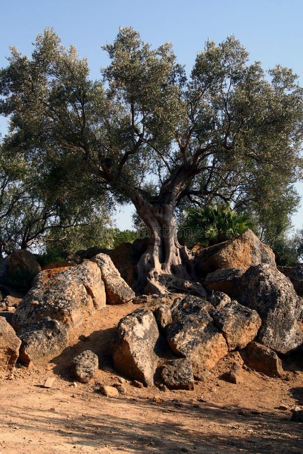 Schmieröl-Baum in Sizilien stockfoto