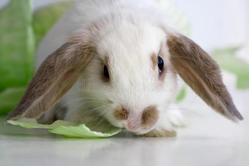 Schmierölniederdruck-Kaninchen lizenzfreie stockfotografie