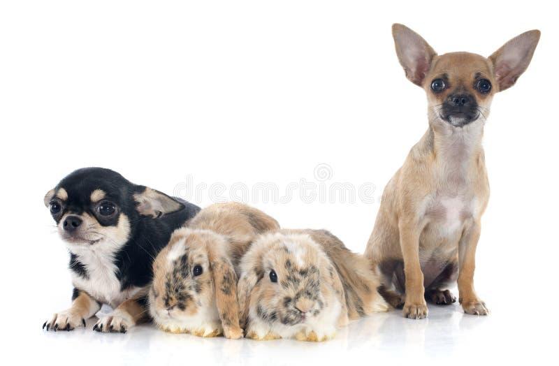 Schmierölniederdruckkaninchen und -Chihuahua lizenzfreies stockfoto