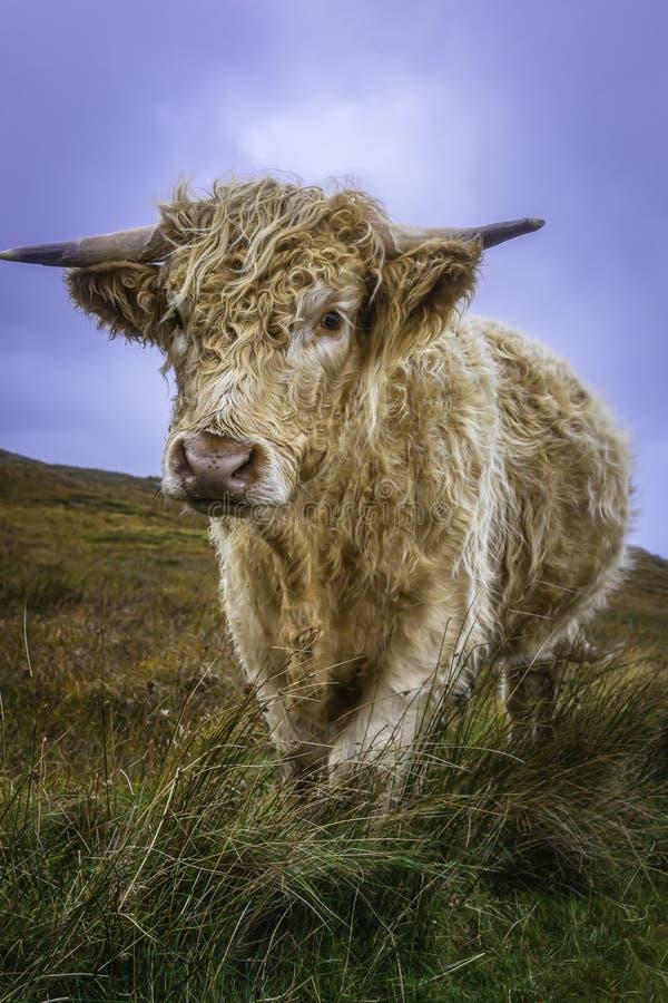 Schmuckkühe auf Weide und Kamera lizenzfreie stockfotos