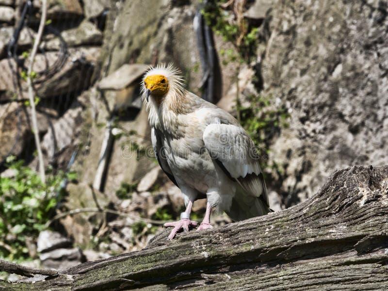 Schmutzgeier, Neophron percnopterus, ist ein kleinerer Panzerkrebsvogel lizenzfreies stockfoto