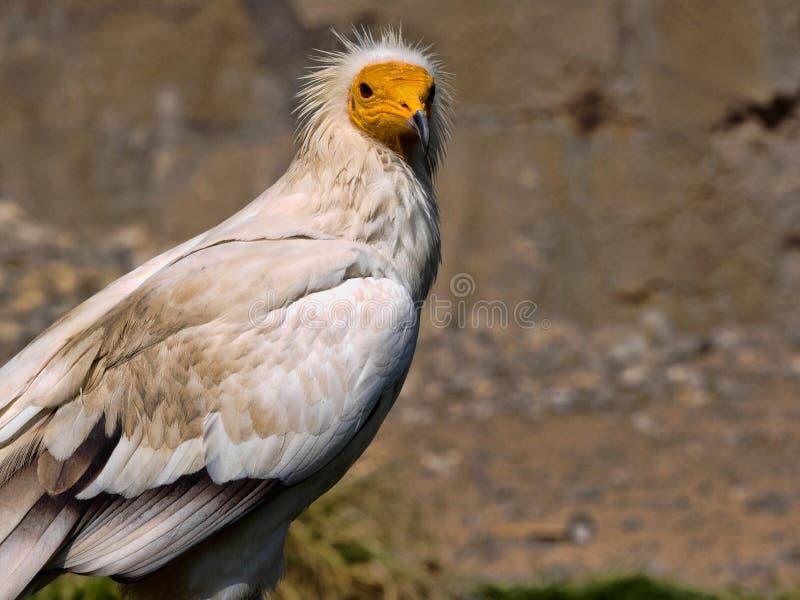 Schmutzgeier, Neophron percnopterus, ist ein kleinerer Panzerkrebsvogel lizenzfreie stockfotos