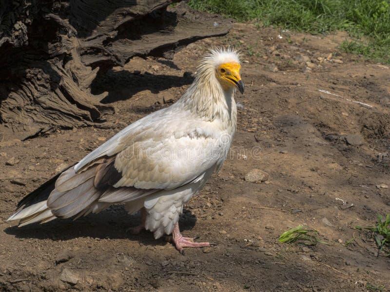 Schmutzgeier, Neophron percnopterus, ist ein kleinerer Panzerkrebsvogel stockfotos