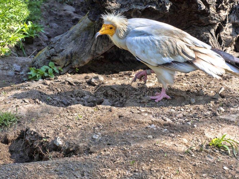 Schmutzgeier, Neophron percnopterus, ist ein kleinerer Panzerkrebsvogel stockfotografie