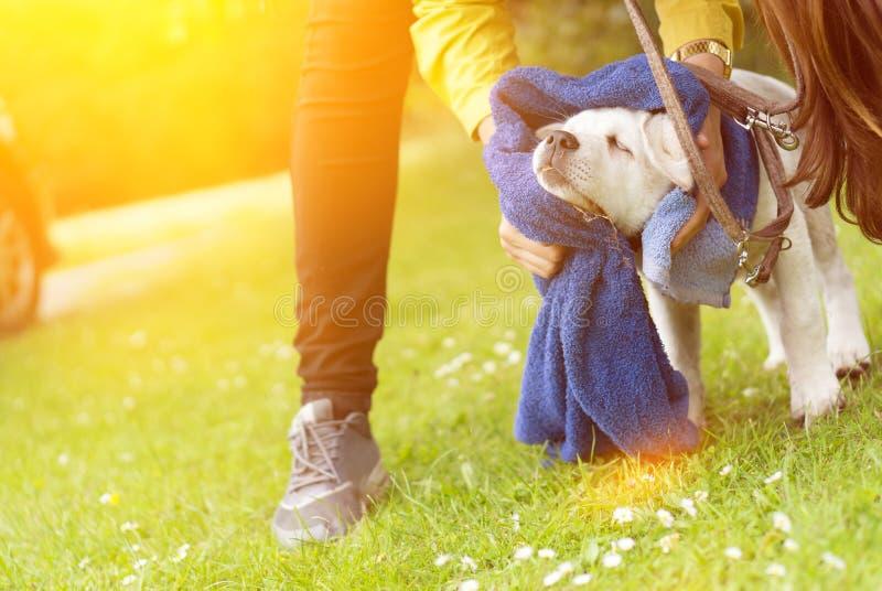 Schmutziger kleiner Labrador-Hundewelpe erhält gesäubert lizenzfreies stockbild