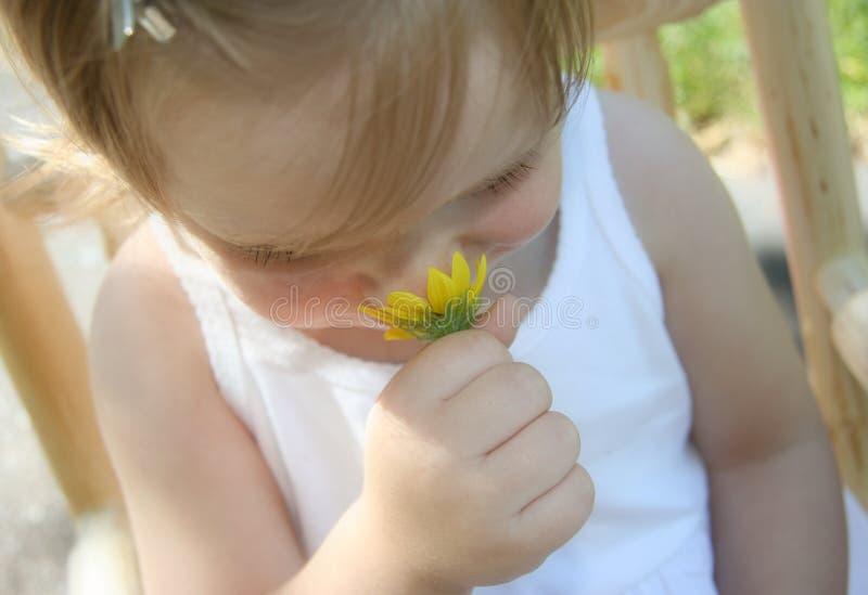 Schnüffelngänseblümchen stockfoto