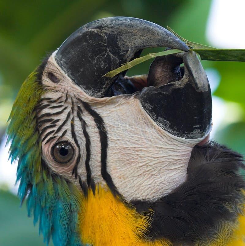 Schnabel und Zunge des Macaws lizenzfreies stockbild