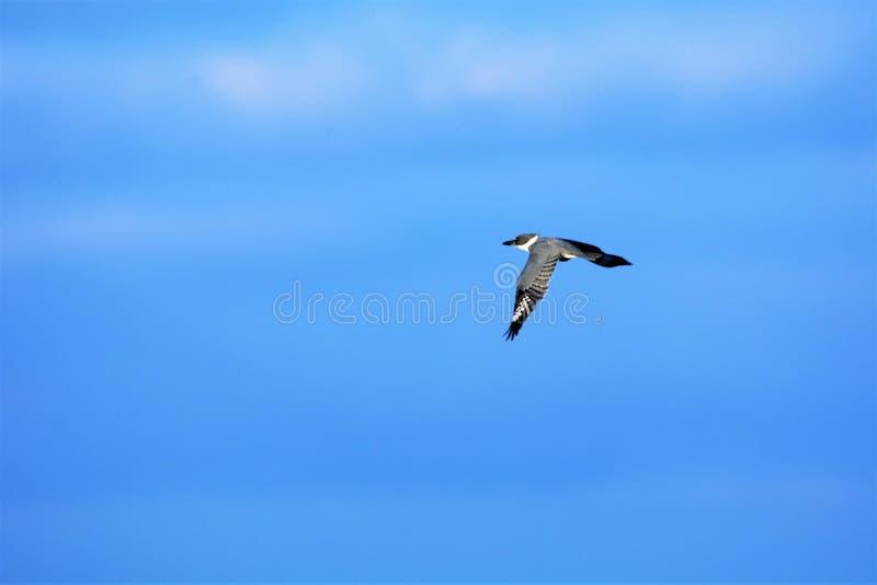 A schnallte Eisvogelsprints über dem Inselsumpf auf einer Suche um lizenzfreie stockfotografie