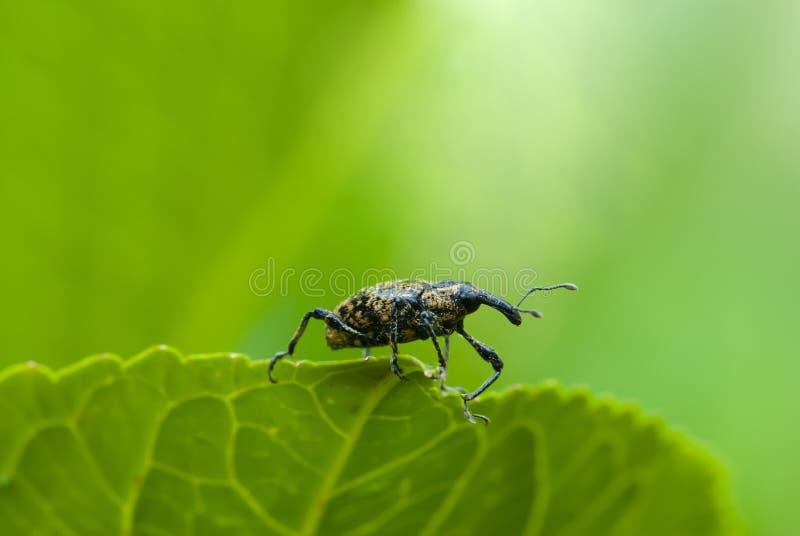 Schnauzenkäfer stockbild