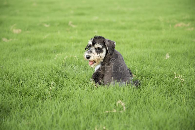 schnauzer photo stock